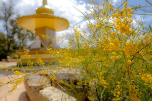 dhammasara wattle blossoms